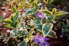 Vinca-major-variegata